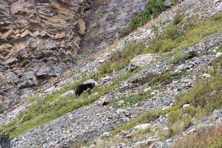 ursus americanus: American Black Bear  Ursus americanus  Stock Photo