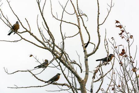 robins: American Robins  Turdus migratorius
