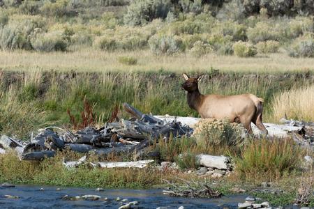 cervus: Elk or Wapiti  Cervus canadensis