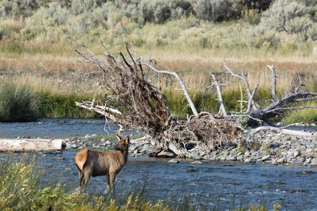 wapiti: Elk or Wapiti  Cervus canadensis