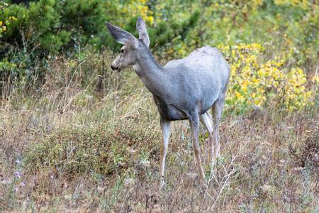odocoileus: Mule Deer (Odocoileus hemionus)