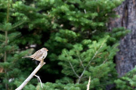 chipping: Chipping Sparrow (Spizella passerina)