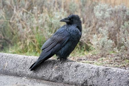 corax: Common Raven (Corvus corax) Stock Photo