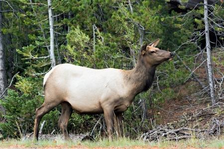 wapiti: Elk or Wapiti (Cervus canadensis)