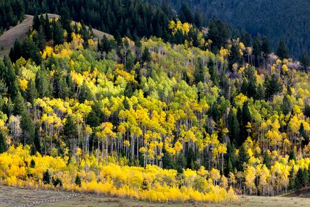 cottonwood  tree: Autumn Colours in Wyoming Stock Photo