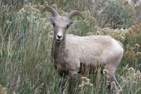 canadensis: Bighorn Sheep (Ovis canadensis)