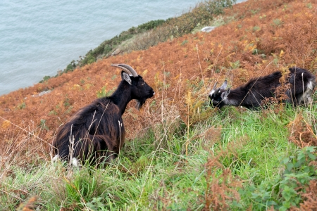 capra: Wild Goats (Capra aegagrus)