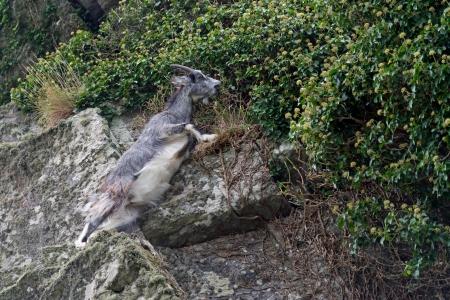 capra: Wild Goat (Capra aegagrus)