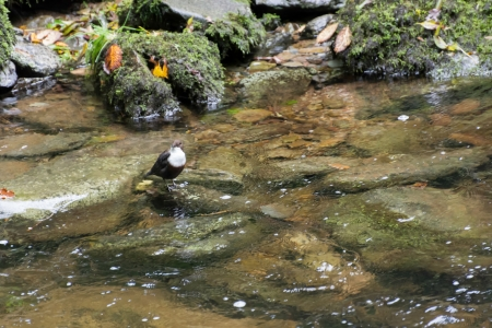 lynmouth: White-throated Dipper