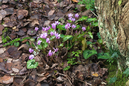 Wild Cyclamen (Persicum) photo