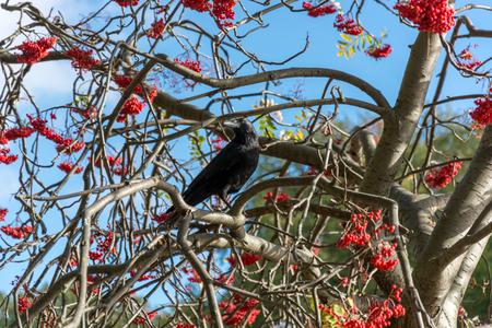 european rowan: Crow (Corvus) in a Rowan Tree
