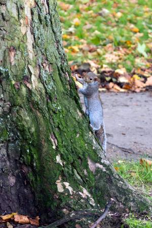 sciurus: Grey Squirrel (Sciurus carolinensis) Stock Photo
