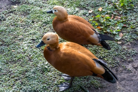 dabbling duck: Ruddy Shelduck or Brahminy Duck (Tadorna ferruginea) Stock Photo