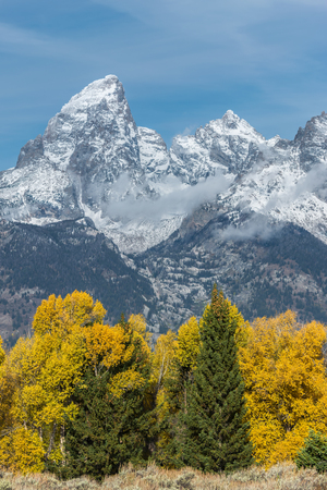 cottonwood  tree: Autumnal Colours in the Grand Teton National Park