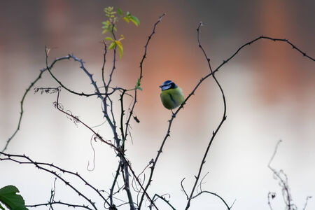 caeruleus: Tit azul (caeruleus de Cyanistes) sentarse en una de brezo Foto de archivo
