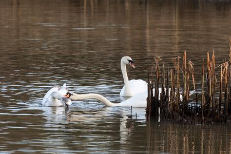 nip: Family of Swans