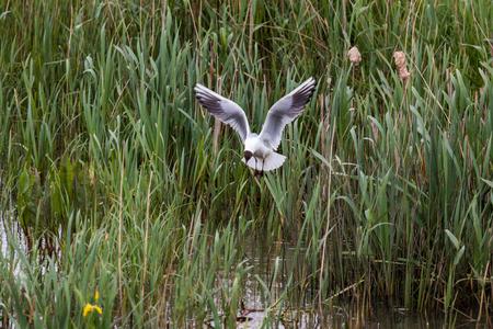 Black Headed Gull photo