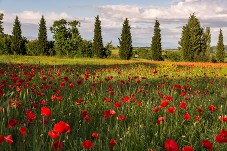 Poppy field in Tuscany photo