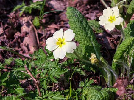 vulgaris: Primula vulgaris Stock Photo