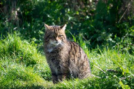 European Wildcat (felis silvestris silvestris) photo