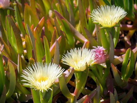 edulis: Yellow Carpobrotus edulis flowers Costa del Sol