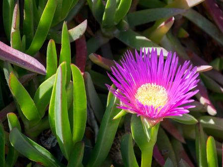 'costa del sol': Purple Carpobrotus edulis flowes Costa del Sol