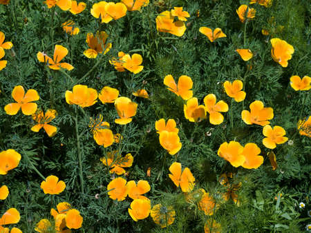 californian: Californian Poppy Eschscholzia californica Stock Photo