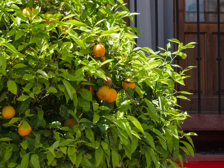 laden: Orange tree laden with fruit in Ronda