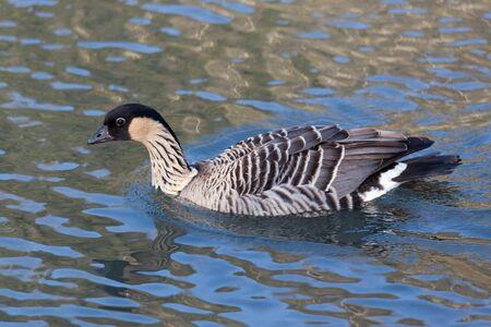 Hawaiian Goose (branta sandvicensis) photo