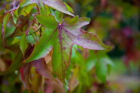 acer palmatum: Acer Palmatum leaves Stock Photo