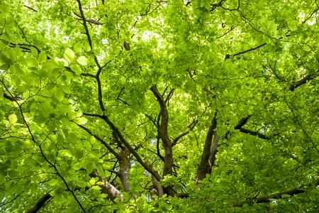 fagaceae: Close-up of a Beech (fagaceae) tree in an english garden