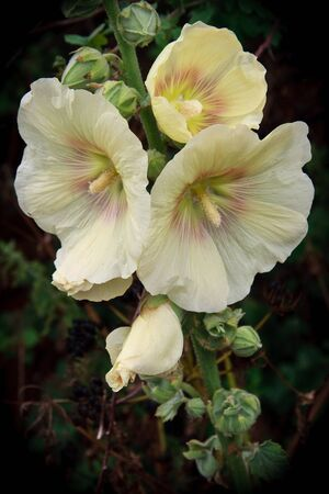 alcea: Floraci�n alcea Hollyhock en Happisburgh Norfolk