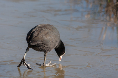 tentative: Coot (fulcia atra) gingerly walking on the ice at Warnham Nature Reserve Stock Photo