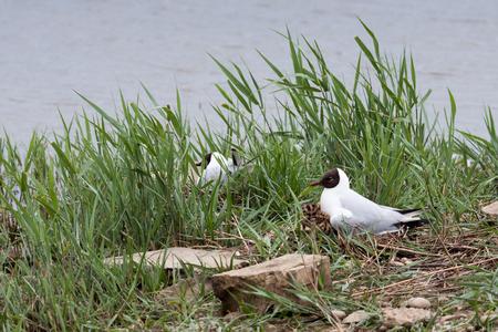 ridibundus: Black_Headed Gull nesting