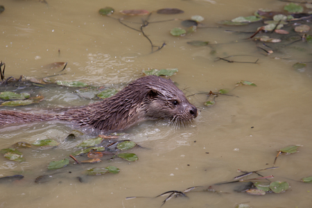 semi aquatic: Otter swimming