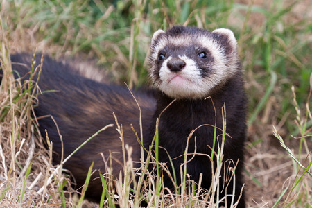 Polecat-coloured Ferret Stock Photo