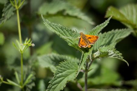 Male Large Skipper Butterfly (Ochlodes venatus) Stock Photo