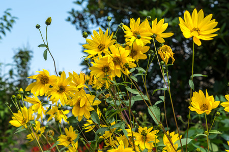 grinstead: Group of yellow Daises in East Grinstead