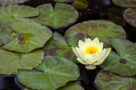 nymphaeaceae: Water Lily (nymphaeaceae)