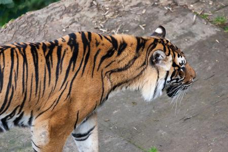 sumatran tiger: Sumatran tiger (Panthera tigris sumatrae) Stock Photo