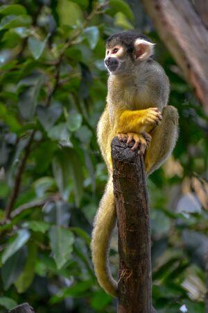 mischevious: Common Squirrel Monkey (Saimiri sciureus) Stock Photo