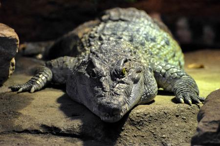 philippine: Philippine Crocodile (Crocodylus mindorensis) Stock Photo