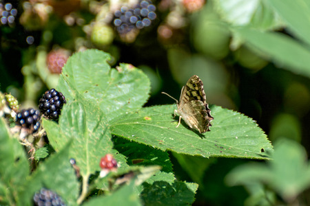 speckled wood: Speckled Wood Butterfly (Pararge aegeria)