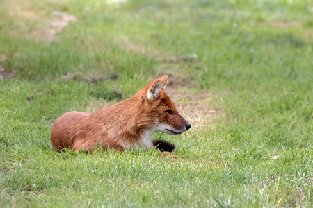 cuon: the Asiatic wild dog or Indian wild dog