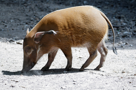bush hog: Red River Hog