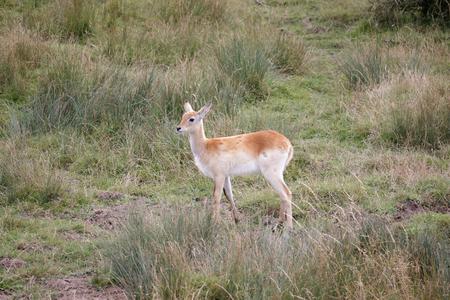 Red Lechwe Antelope (Kobus leche) photo