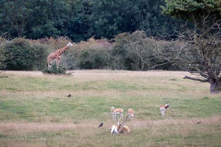 Blackbuck (Antilope cervicapra) with Giraffe and Red Lechwe Antelope (Kobus leche) photo