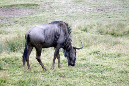 brindled: Blue Wildebeest or brindled Gnu (C. taurinus)