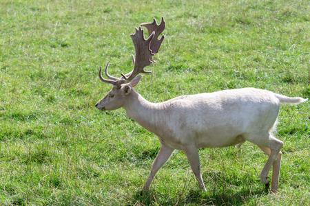 ruminants: Fallow Deer (Dama dama)