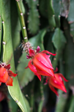 flowering cactus: Cactus with red flowers in Friedrichsdorf